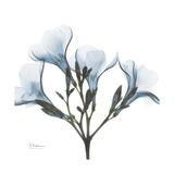 Soft Oleander