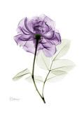 Purple Rose Portrait