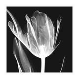 Lusty Tulip 2