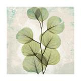 Eucalyptus Aged stone