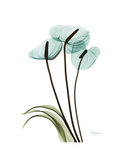 Soft Anthurium 1