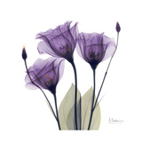 Royal Purple Gentian Trio