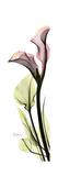 Tall Pink Calla Lily Giclée premium par Albert Koetsier