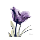 Royal Purple Parrot Tulip Giclée premium par Albert Koetsier