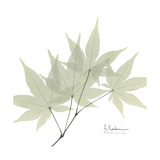 Japanese Maple Portrait 2
