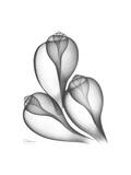 Fig Shells Xray 1