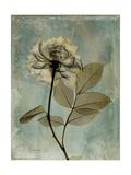 Sage Opus Rose