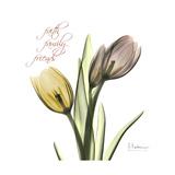 Faith Tulips