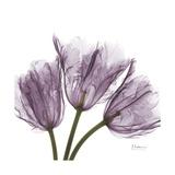 Tulips Lavender
