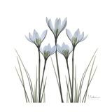 White Rain Lily 1