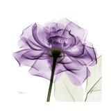 Rose pourpre Reproduction d'art par Albert Koetsier