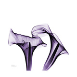 Grape Calla Lilies 1