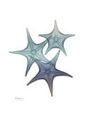 Starfish Ombre 2