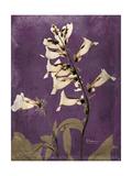 Purple Opus Foxglove