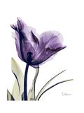 Purple Gentian Solo