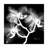 Xray Orchid