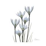 White Rain Lily 3