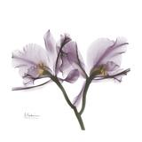 Orchid Lavender