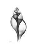 Tulip Shell Gray Giclée premium par Albert Koetsier
