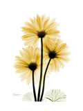 Golden Gerbera