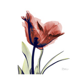 Ruby Tulip