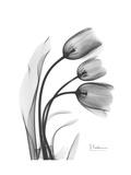 Tulip Gray