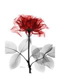 Tonal Rose on White Reproduction d'art par Albert Koetsier