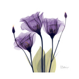 Purple Gentian Portrait