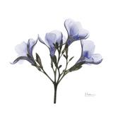 Lilac Oleander