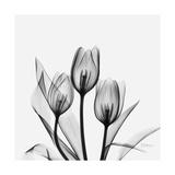 Tulips Greys 3