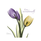 Unconditional Tulip
