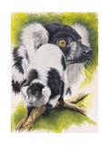 Black and White Lemur