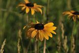 Wildflowers  Black-Eyed Susans