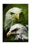 American Bald Eagle III