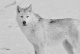 White Wolf 3