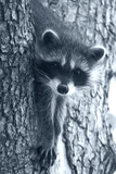 Raccoon 3
