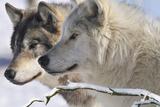 Zoo Wolf 05