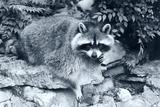 Raccoon 2