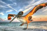 Dancing Pelican