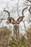 South Londolozi Private Game Reserve Adult Greater Kudu