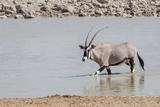 Namibia  Etosha National Park Oryx Wading in Waterhole