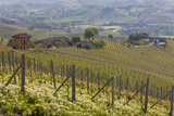 Vineyard Near Barolo  Piedmont  Italy