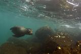 Galapagos Sea Lion Underwater  Galapagos  Ecuador