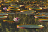 Lily Pads and Flowers on Rupununi River  Southern Guyana