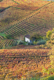 Vineyards  Near Alba  Langhe  Piedmont  Italy