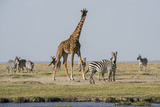 Kenya  Amboseli NP  Maasai Giraffe with Burchell's Zebra at Water Hole
