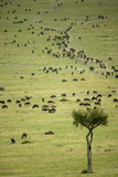 Kenya  Masai Mara  Thousands of Wildebeest Preparing of the Migration