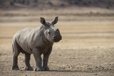 White Rhinoceros Calf  Great Karoo  Private Reserve  South Africa