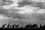 Botswana, Chobe NP, Herd of Giraffes Feeding Along Chobe River's Banks Papier Photo par Paul Souders