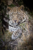 Londolozi Reserve  South Africa Close-up of Leopard Resting in a Tree